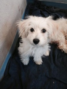 Adorable little Dudley is also waiting for a forever home at Marley's Mutts Dog Rescue