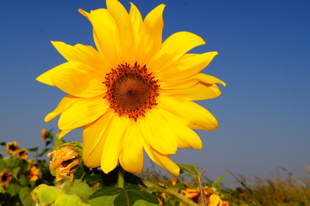 Nutan Erathi Sunflower.2.JPEG